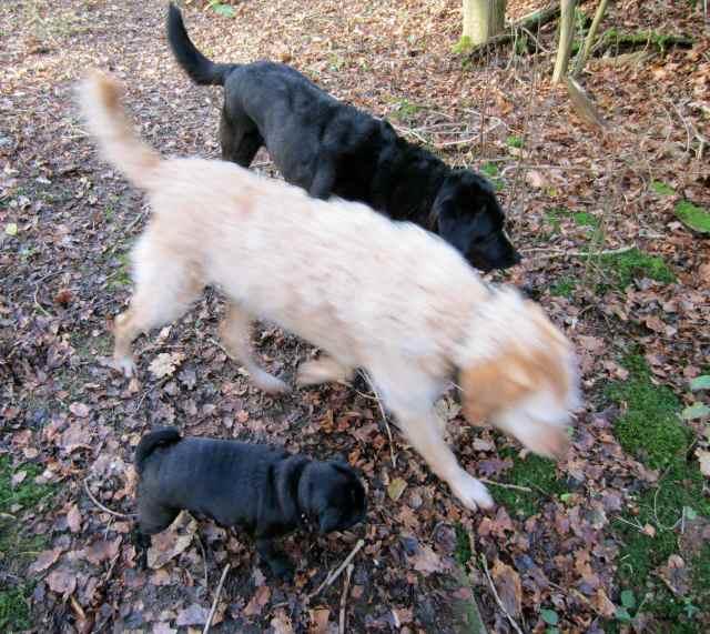 3 dogs walking