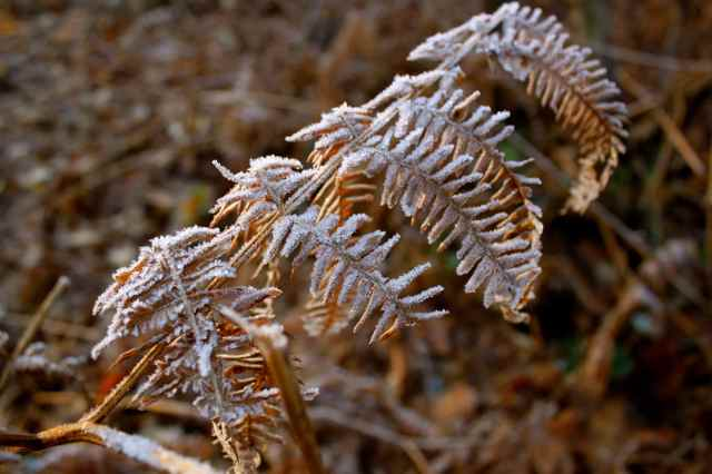 icy fern frond