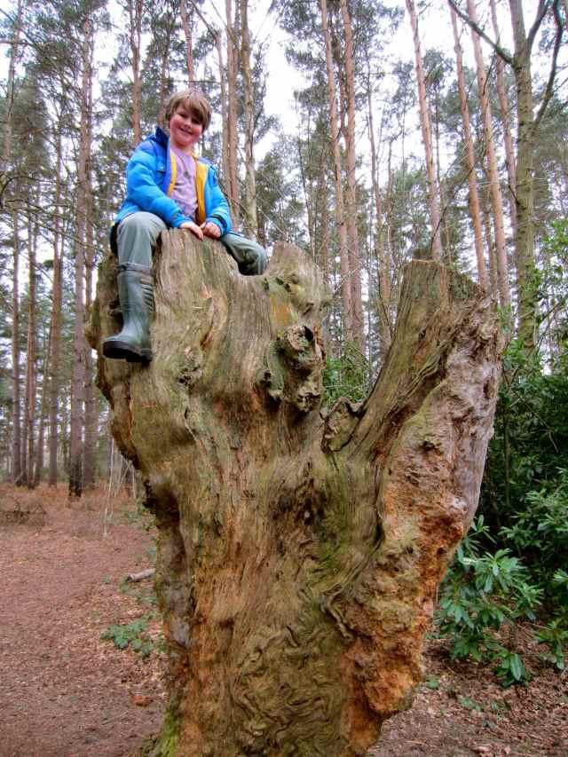 H on large tree stump