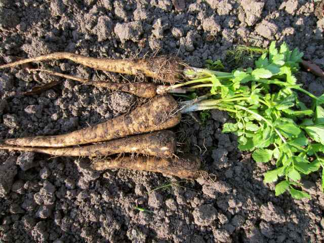 fresh dug parsnips