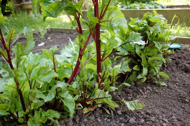 beetroot in garden