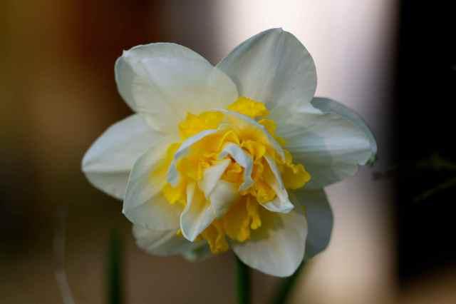 funky daffodil