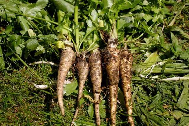muddy parsnips