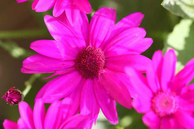 Senetti close up
