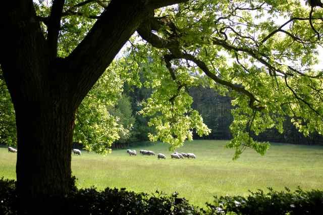 Sheep and oak tree