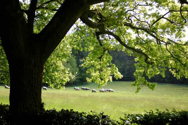 Sheep and oak tree