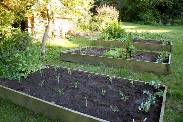 Sweetcorn and nasturtiums planted out
