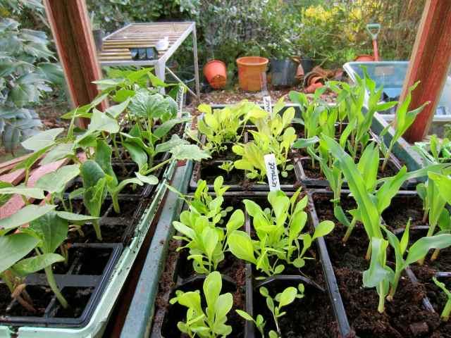 Veggies growing