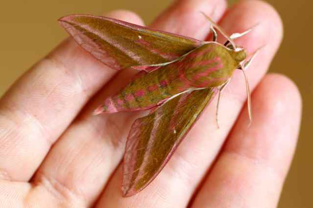 Elephant's Hawk Moth