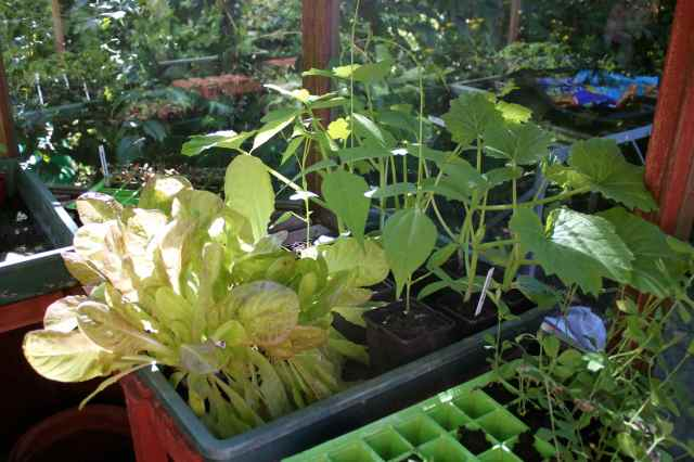 Veg in Greenhouse