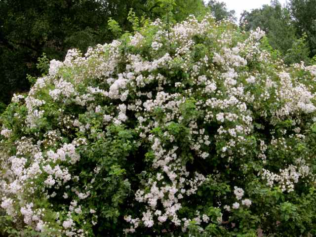 Apple tree and white roses
