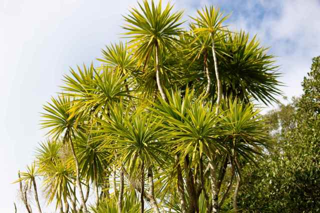 Cabbage Trees