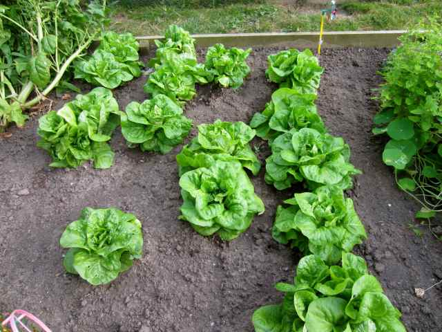 Lettuces in veg patch