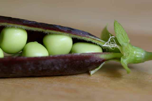 peas in purple pod