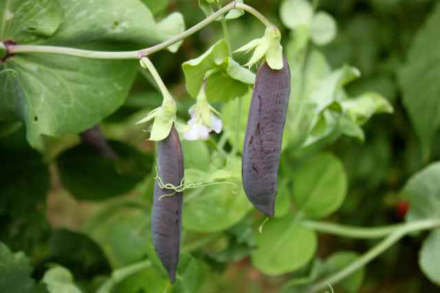 purple pods dangling