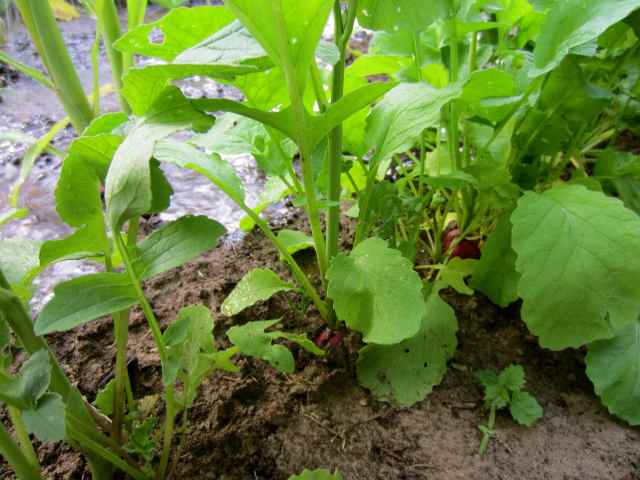 radishes in sweetcorn