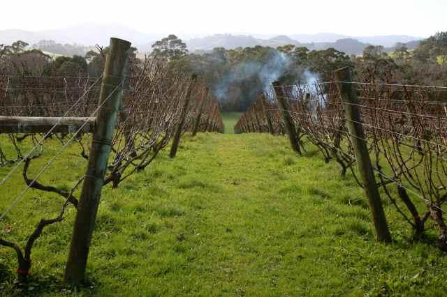 Sangiovese vines