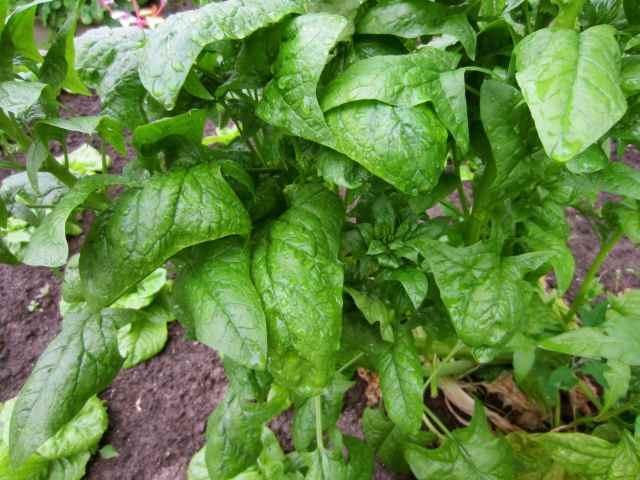 spinach in garden 2-7-13