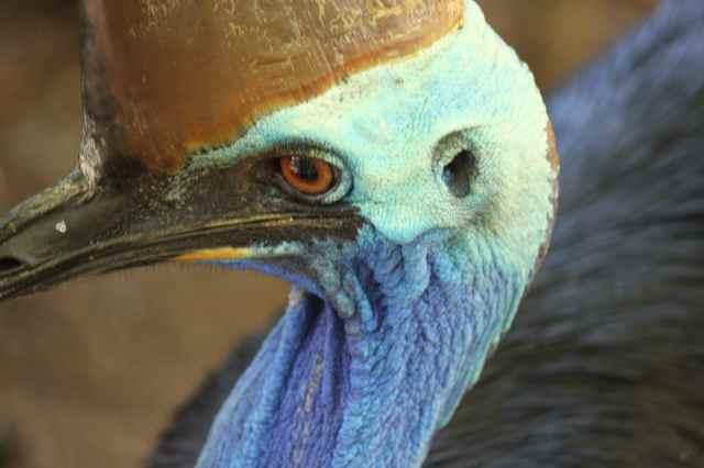 Cassowary close up