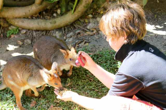 H feeding wallaby