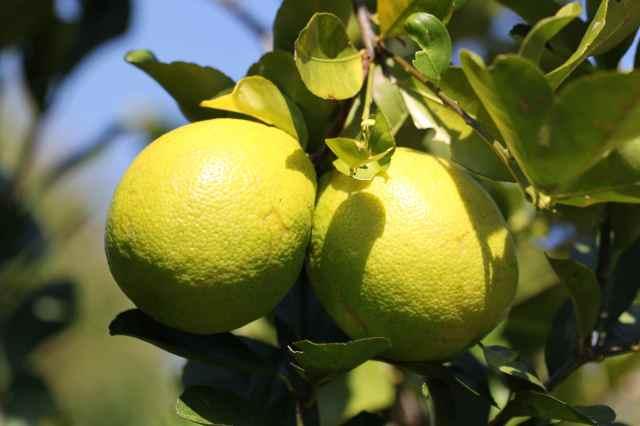 lemons at Jacques