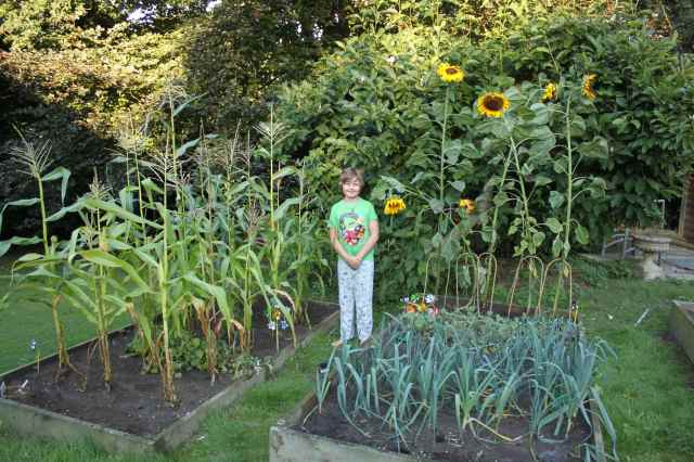 sunflowers and sweetcorn