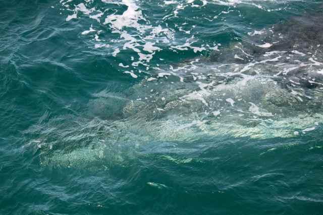 whale 3