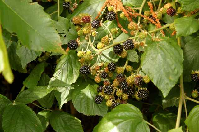 blackberries 1