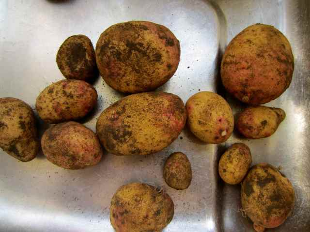 first potatoes from garden