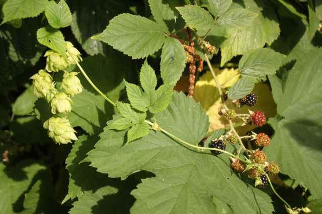 hops and blackberries