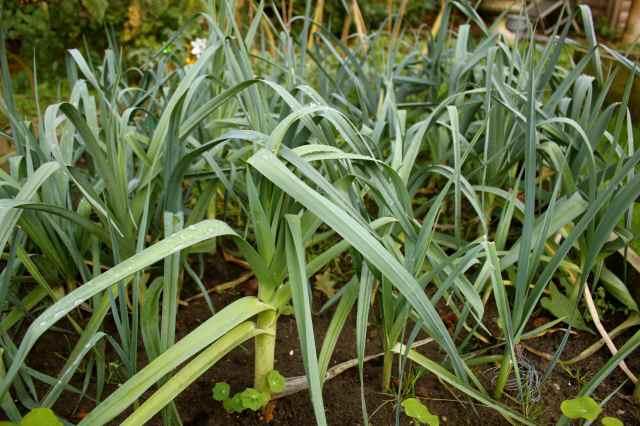 leeks in the garden