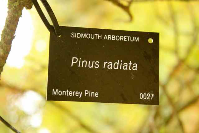 Monterey Pine Sidmouth