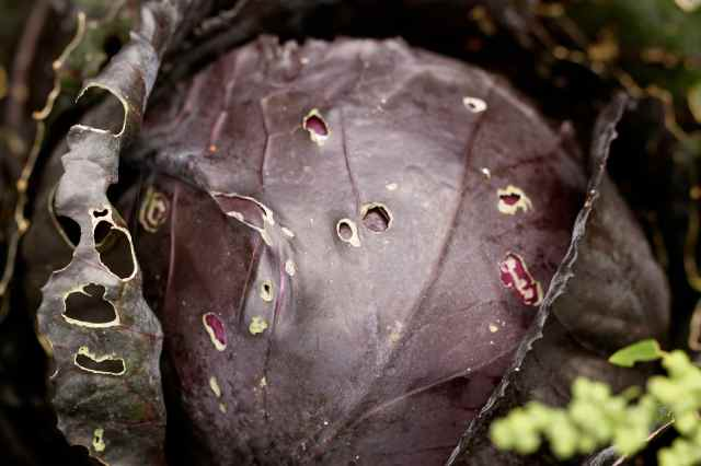 red cabbage in garden