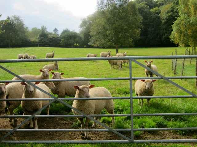 sheep otr