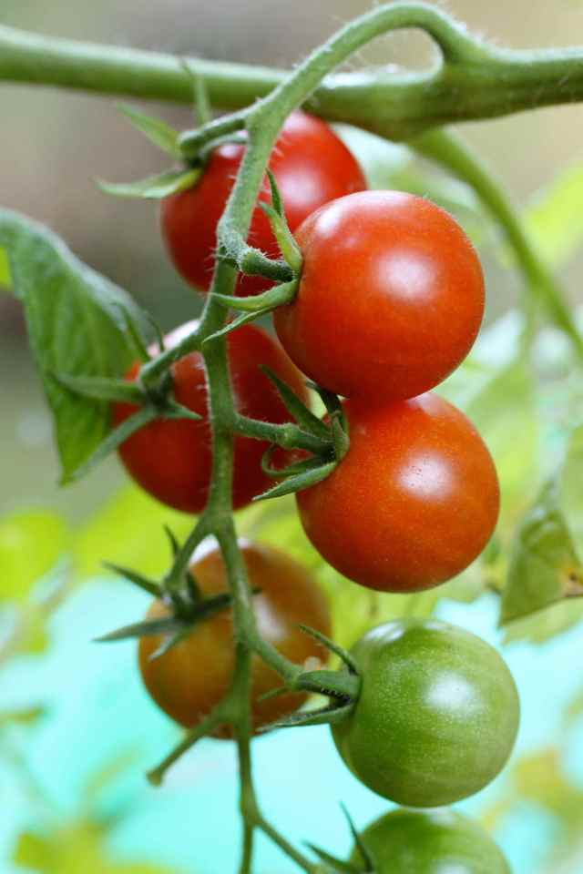 tomatoes in greenhouse