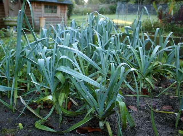 leeks in garden