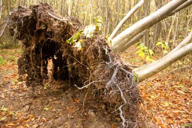 shallow root system