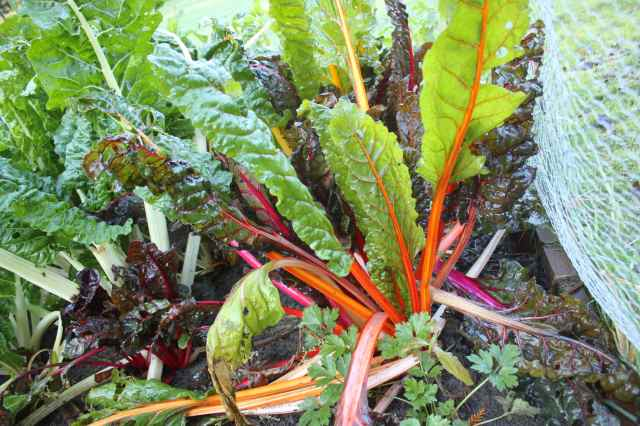 Swiss Chard in garden 10-11-13