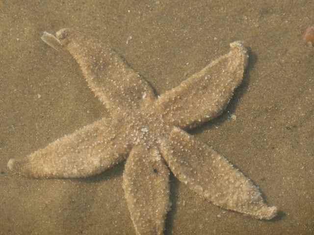 Camber Brittle Star