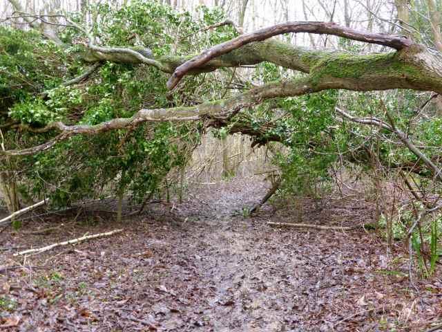 fallen tree tunnel