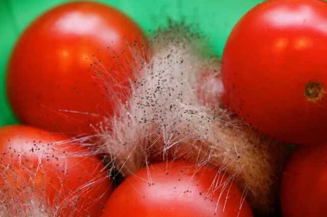 Mouldy tomatoes 1