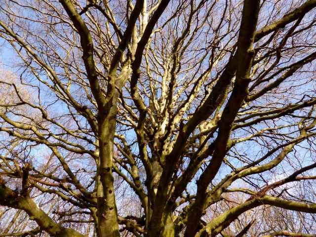 huge tree Sissinghurst