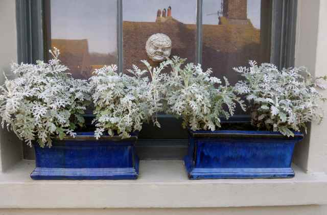 blue pots grey foliage