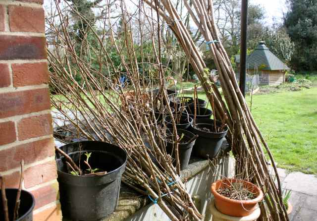 Raspberry canes and bean poles
