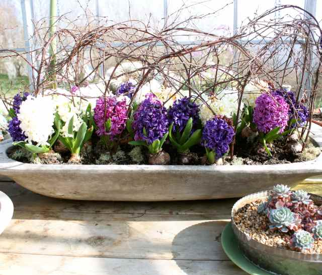 SR coloured hyacinths