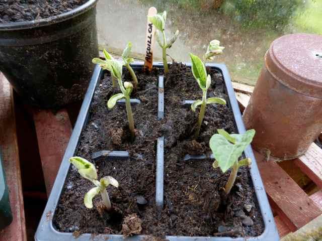 aiguillon bean seeds