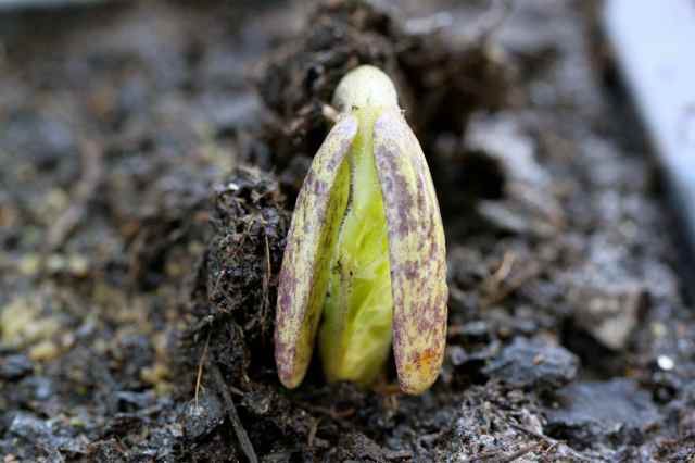 Beans germinating