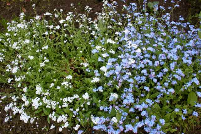 blue and white forget-me-nots