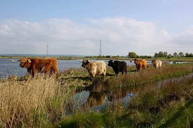 Oare Cattle 3
