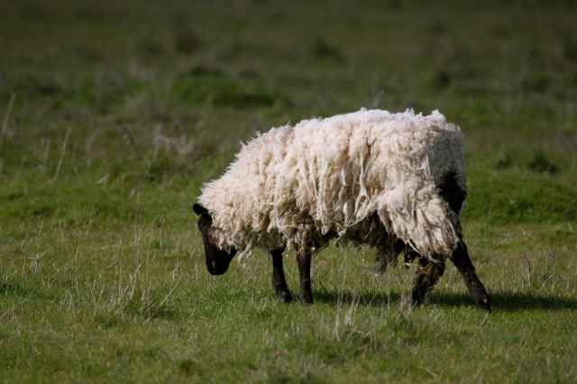 Oare sheep
